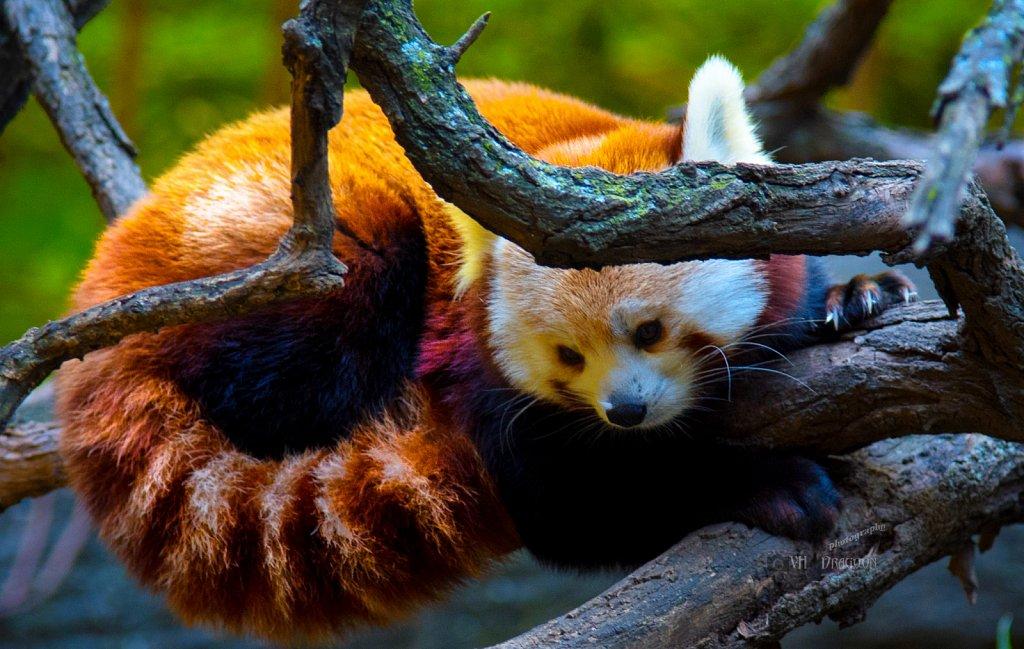 The Legendary Firefox