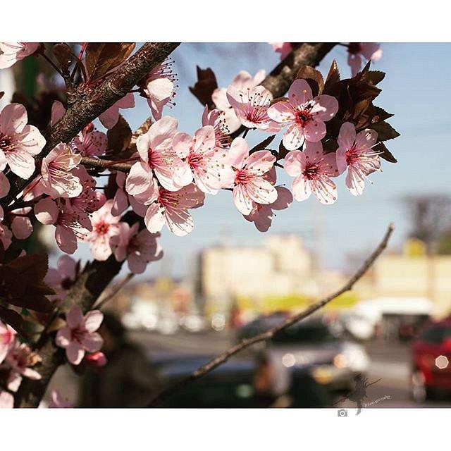 #cherryblossom #bostonroad